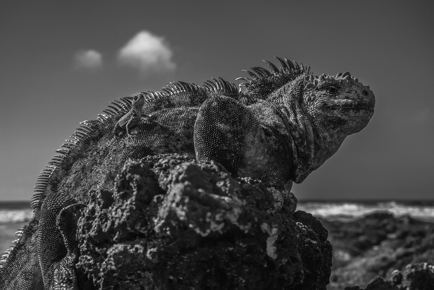 Marine iguana, Isabela Island, unique animal of the Galapagos Islands. The marine iguana (Amblyrhynchus cristatus) is an iguana found only on the Galápagos Islands. It feeds on algae and can dive over 9 meters into the water. They are the world's only sea-going lizards and must warm its body in the sun after swimming in cold ocean waters, because reptiles do not have the ability to thermoregulate. The average lenght of an adult male is 1.3 meters and the weight up to 13kg.