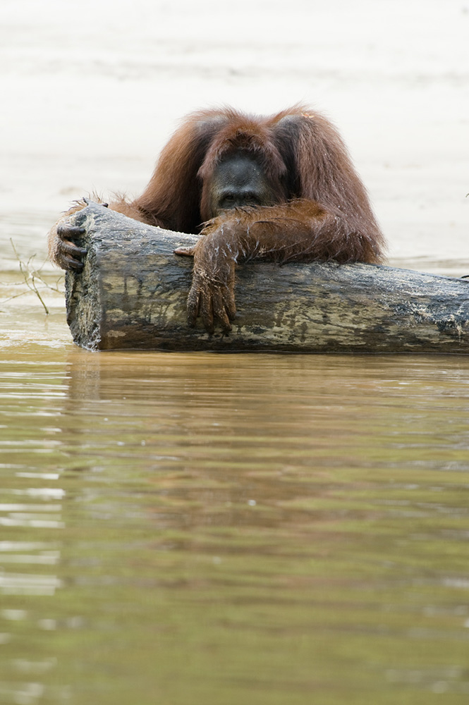 Orangutan holding on to a cut down tree. The rainforest on Borneo is rapidly being clear-cutted, burned, logged, and cleared.