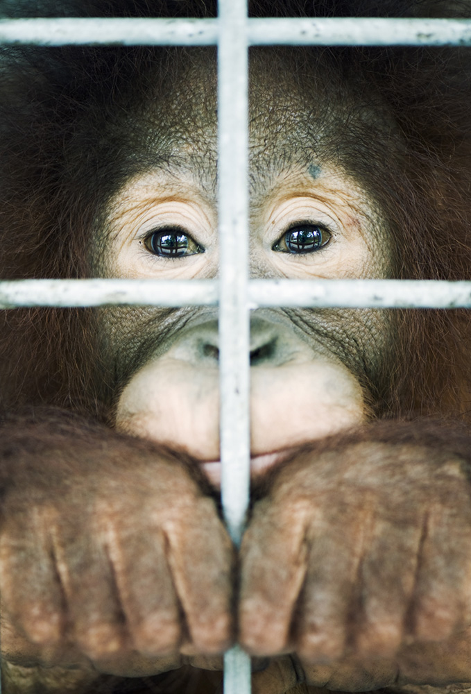 A young orangutan kept in a cage for tests at Nyaru Menteng rescue centre.