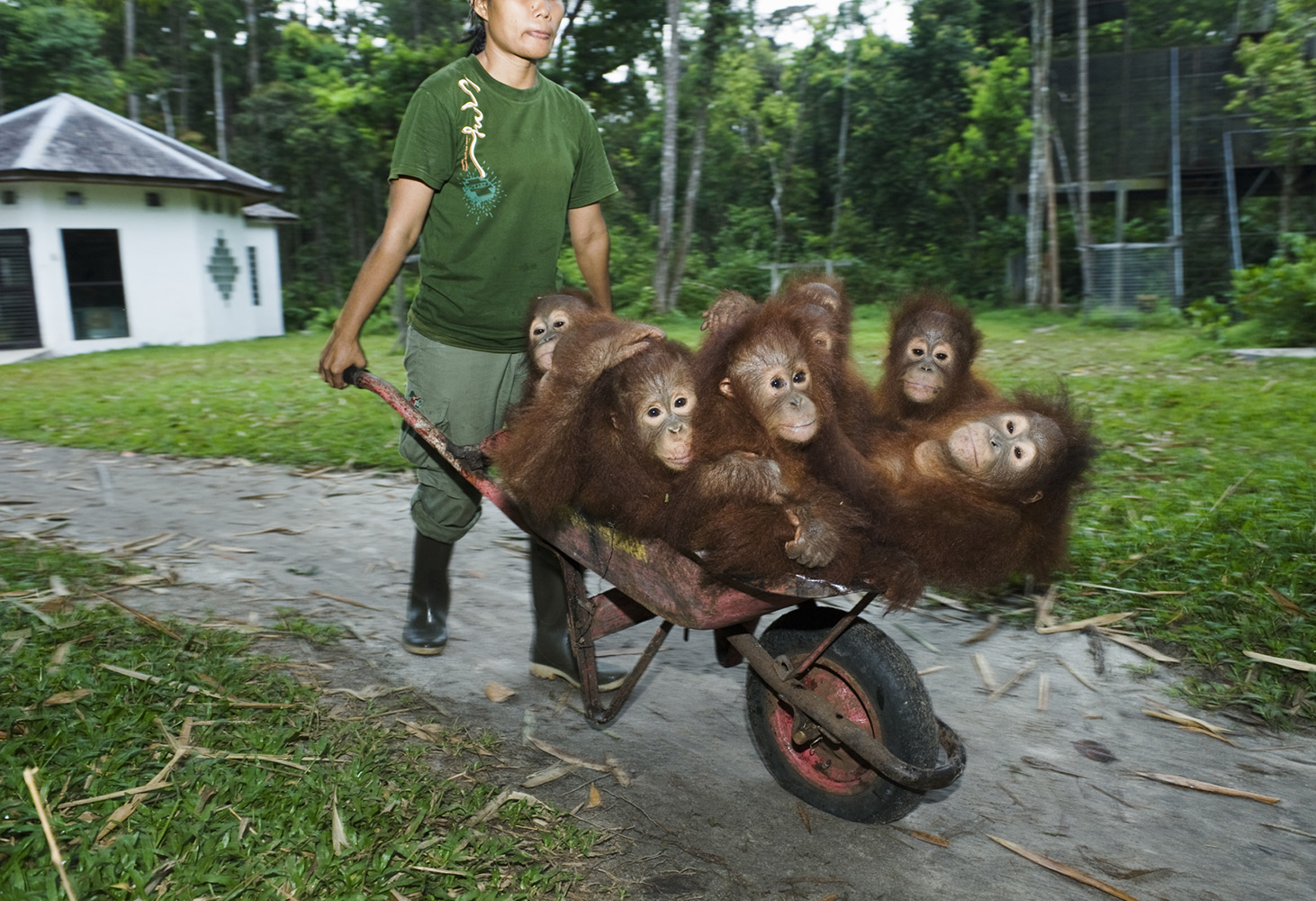 Young orphan Orangutans are taken in at night, at Nyaru Menteng Rehabilitation Centre.