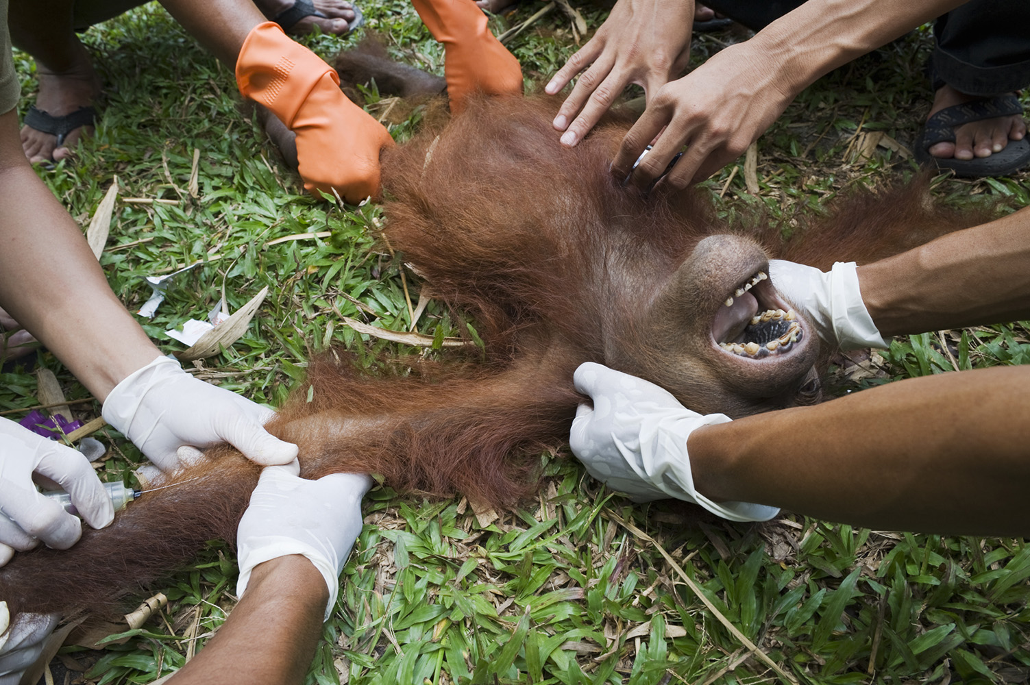 Young orphan Orangutan found with both its legs broken.