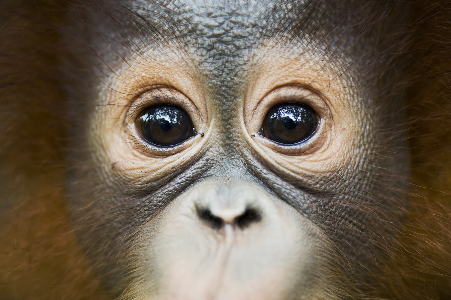 Close-up portrait of an orangutan at Nyaru Menteng Menteng rehabilitation centre