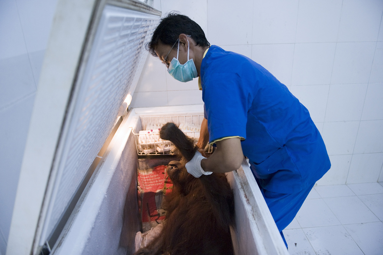 Dead orangutan kept in a freezer waiting for autopsy. It was found likely beaten to death by humans.