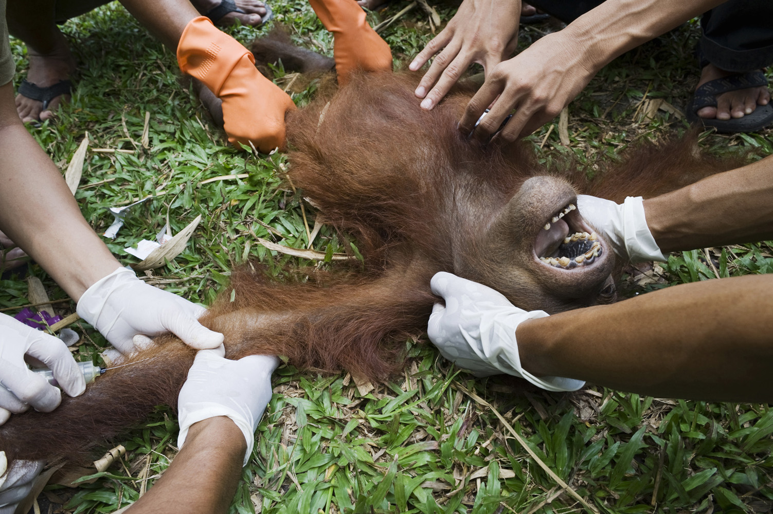 Kalimantan, Borneo, IndonesiaYoung Orangutan found wounded with both legs broken. Many orangutans are being killed and hurt due to the Palm Oil exploration on Borneo.