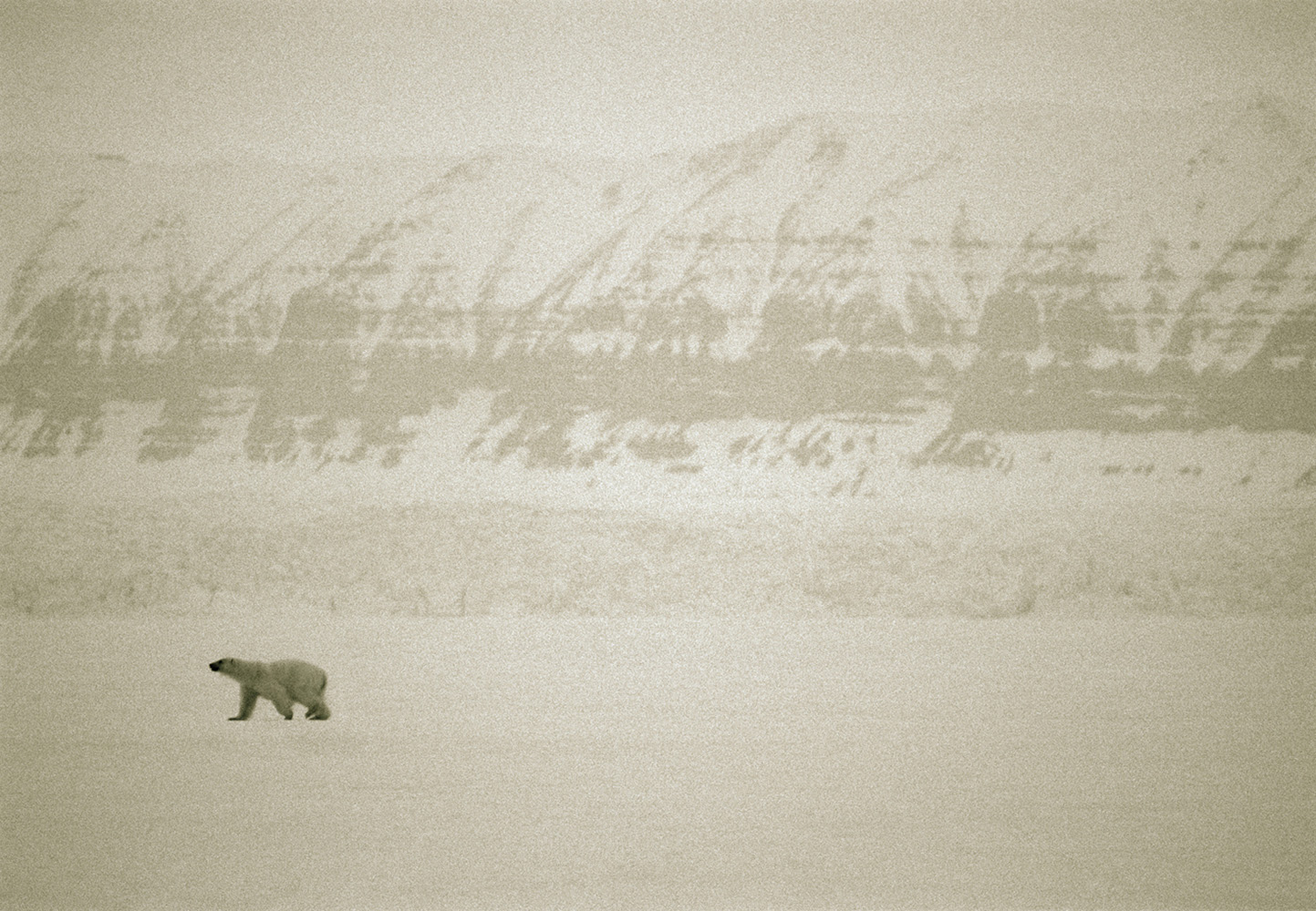 Polarbear on Svalbard, Norway.