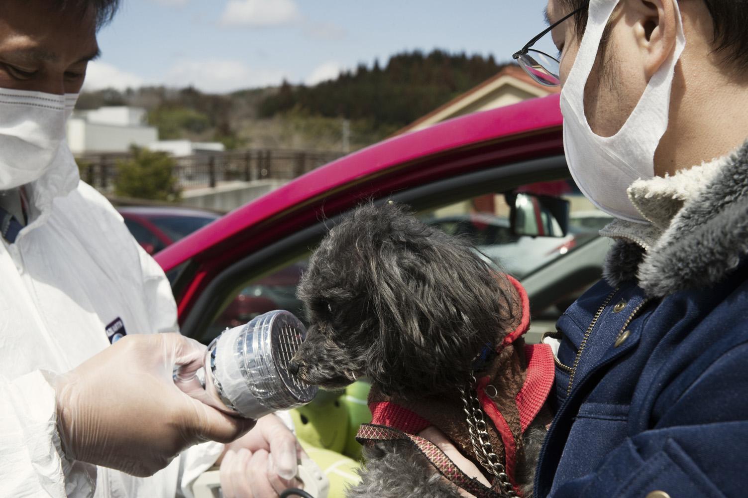 Kawamata,  Japan, 27 March 2011 Dog beeing scanned for radioactivity at Kawamata City, 60 km from Fukushima Nuclear Power Plant.