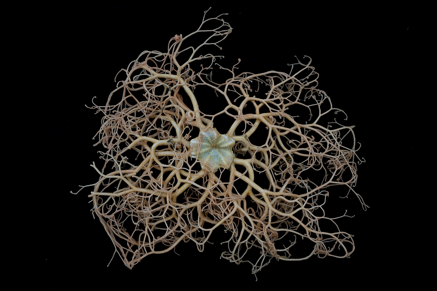 Gorgonocephalus chilensis basket star (ventral view) from off Lecointe Island at around 570 meters depth, Gerlache Strait, Antarctic Peninsula. Listed as a Vulnerable Marine Ecosystem indicator taxon by the Commission that governs the Antarctic Ocean.