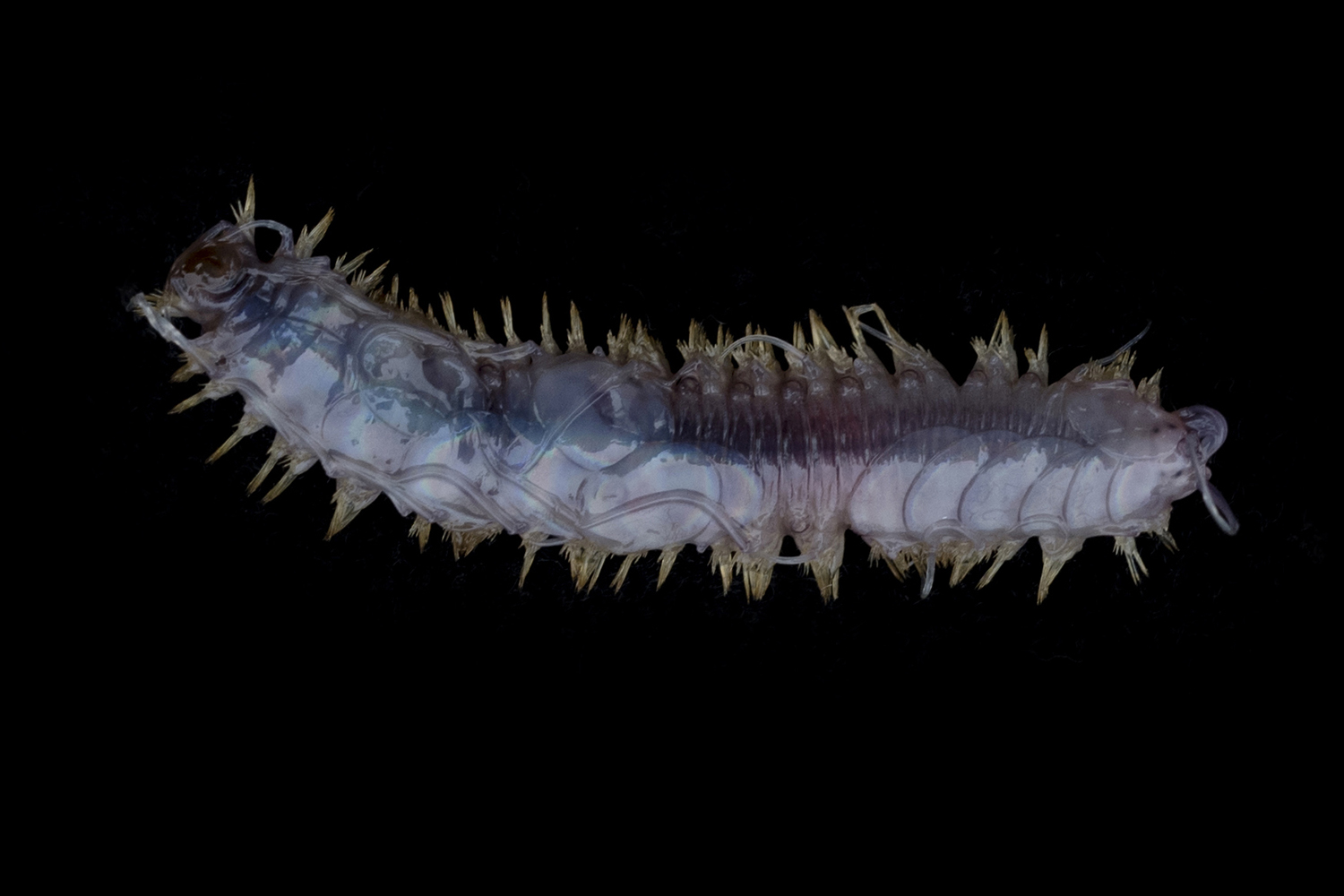 A polynoid polychaete worm collected off Lecointe Island (Gerlache Strait, Antarctic Peninsula) at around 560 meters depth.