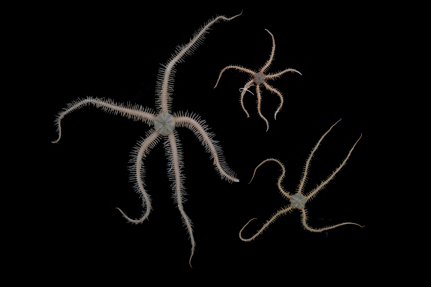 Ophiuroid brittle stars can be found in any type of Antarctic seabed habitat. These were collected off Lecointe Island (Gerlache Strait, Antarctic Peninsula) at around 560 meters depth.