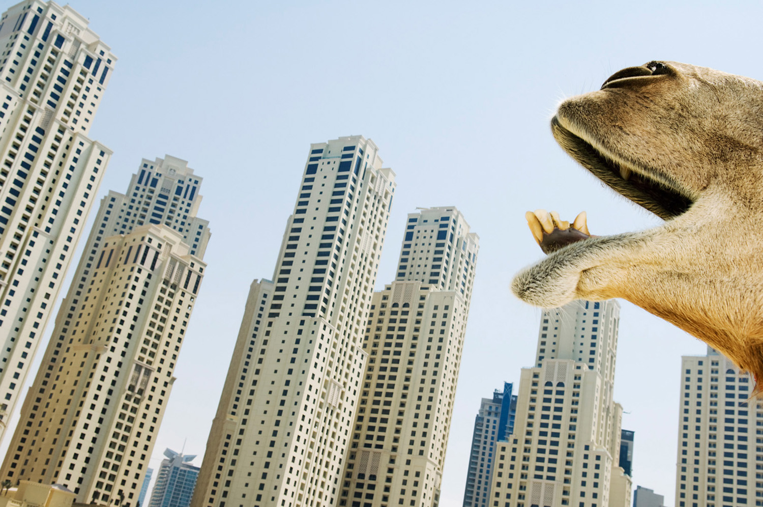 Camel yawning on the beach in Dubai Marina also called the 'new Dubai'. The marina is entirely man-made, being the world's largest, containing over 200 high-rise buildings and some supertall skyscrapers that comprises a area of 4.9 million m2.