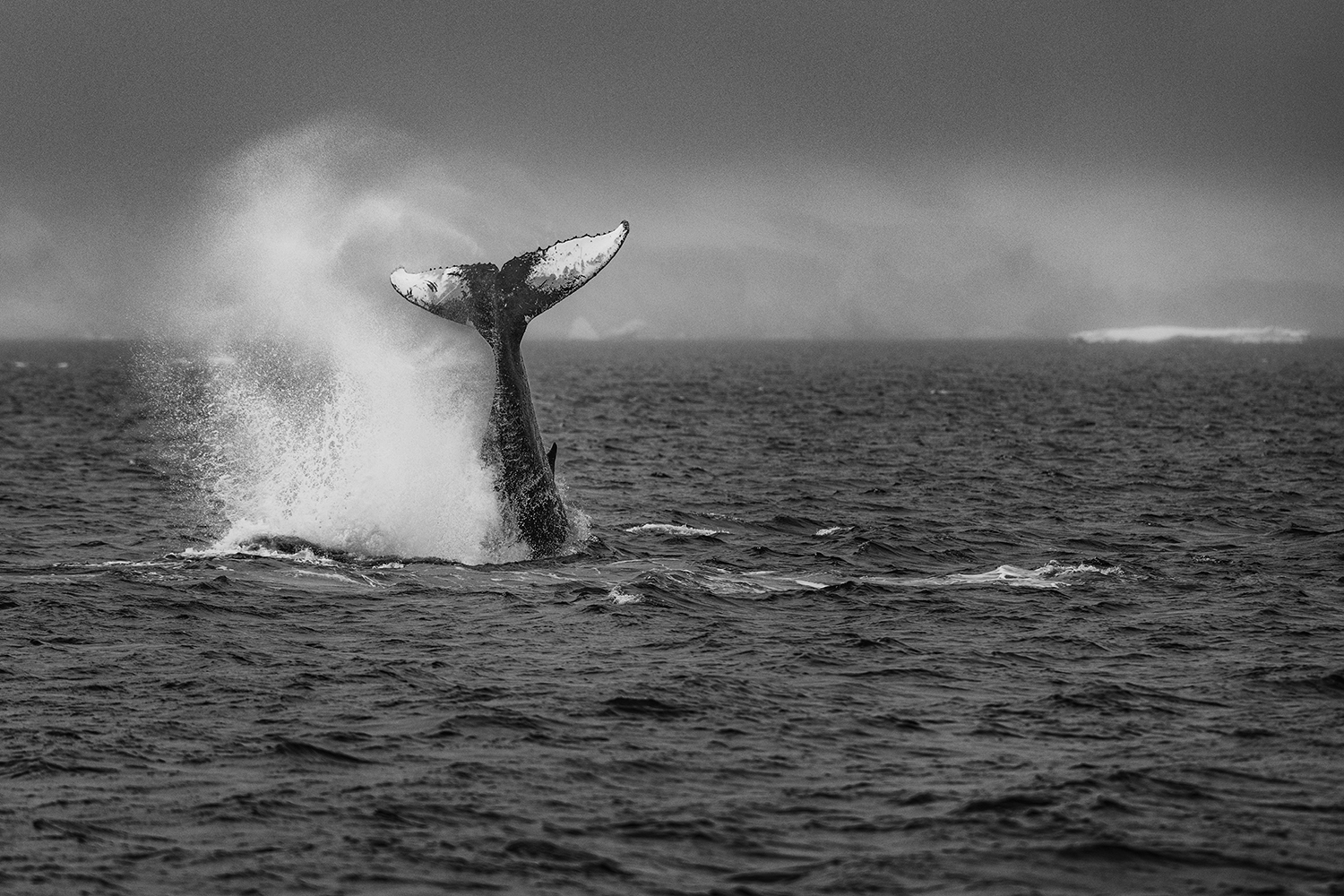 Humpback whale breaching the surface while feeding in Palmer Archipelago, off the coast of the Antarctic Peninsula.