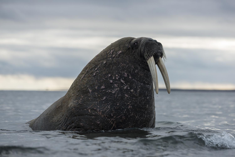 Walrus at Prins Karls Forland, Svalbard.