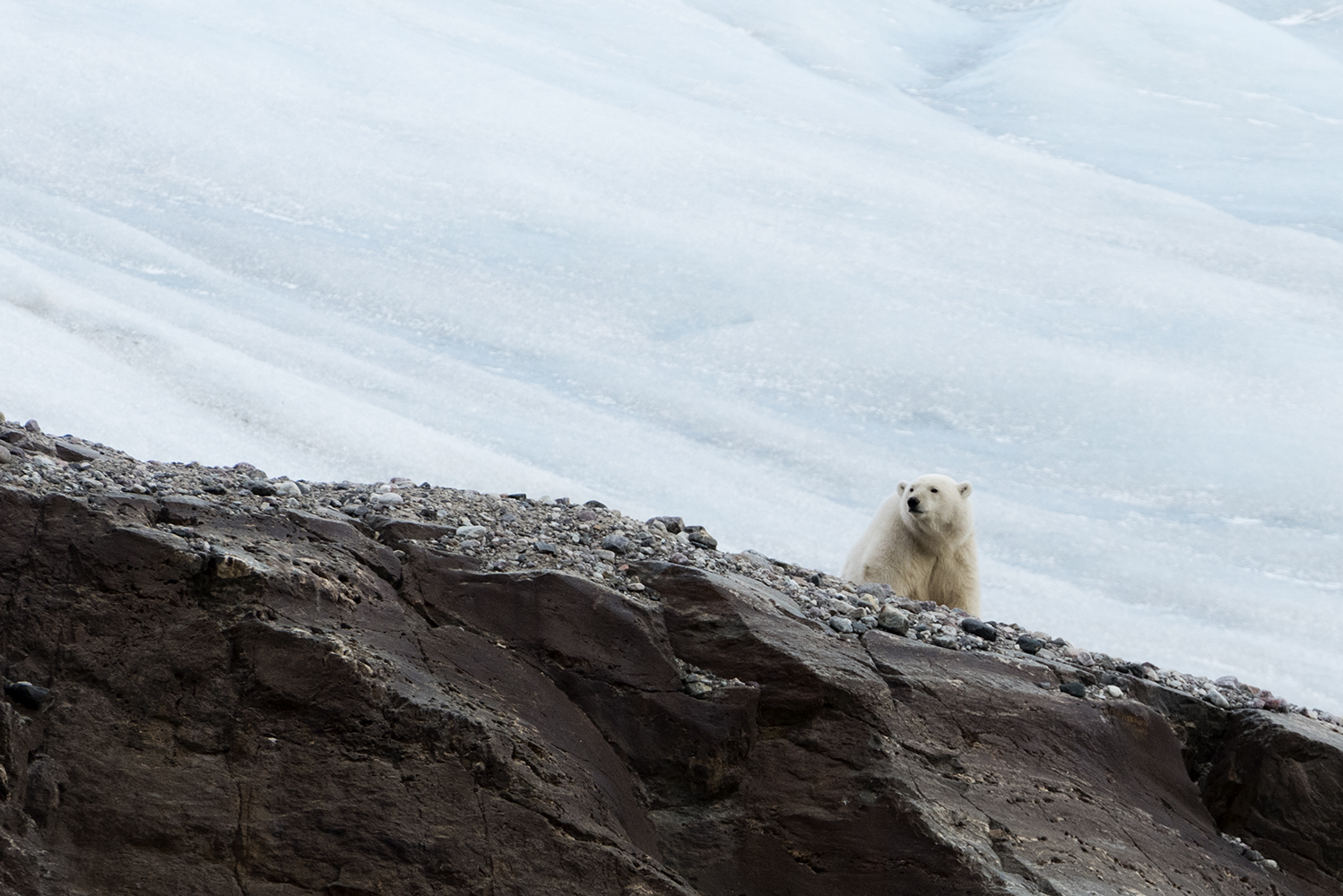 18/9 2014, Svalbard, Norway. Polar bear at the retreating high Arctic glacier Nordenskioldbreen, on Svalbard.