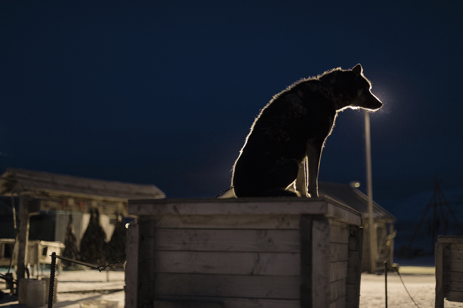 Alaskan Husky, sled dogs, in -18 degree Celsius (°C), during the dark period, Spitsbergen Longyearbyen is the most northern town in the world with its 78°13'N Latitude.