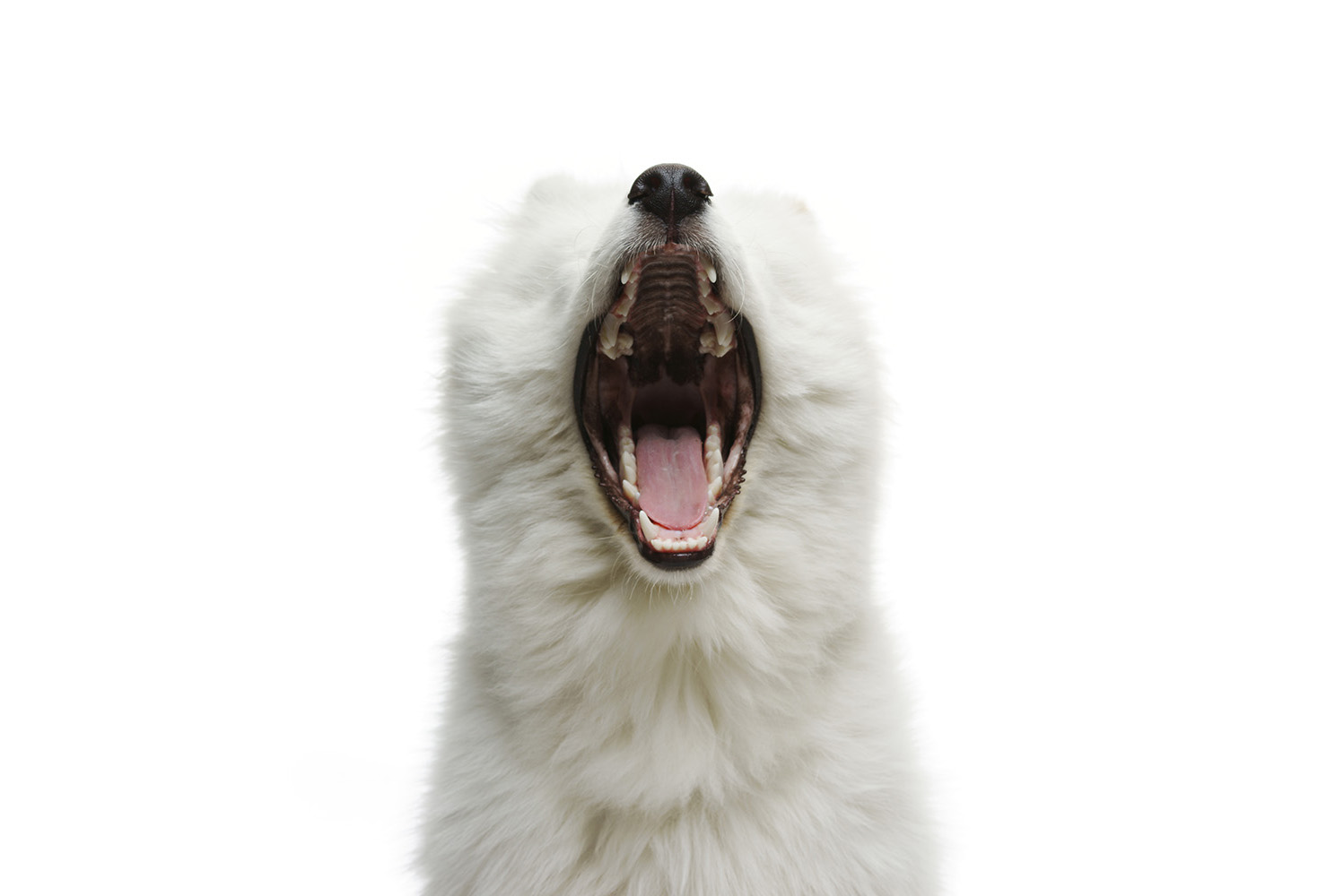 White samoyed dog portrait in the studio, white background.