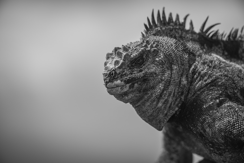 Marine iguana, Isabela Island, unique animal of the Galapagos Islands