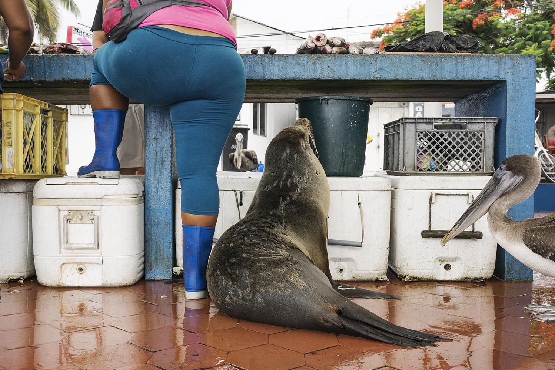 Galapagos Sea Lion and pelicans. Fish market, harbour, Santa Cruz Island.