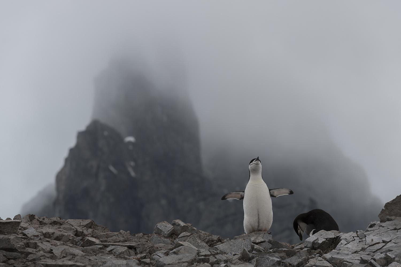 Chinstrap penguin nesting at Spigot Peak, in Orne Harbor on the Antarctic peninsula.