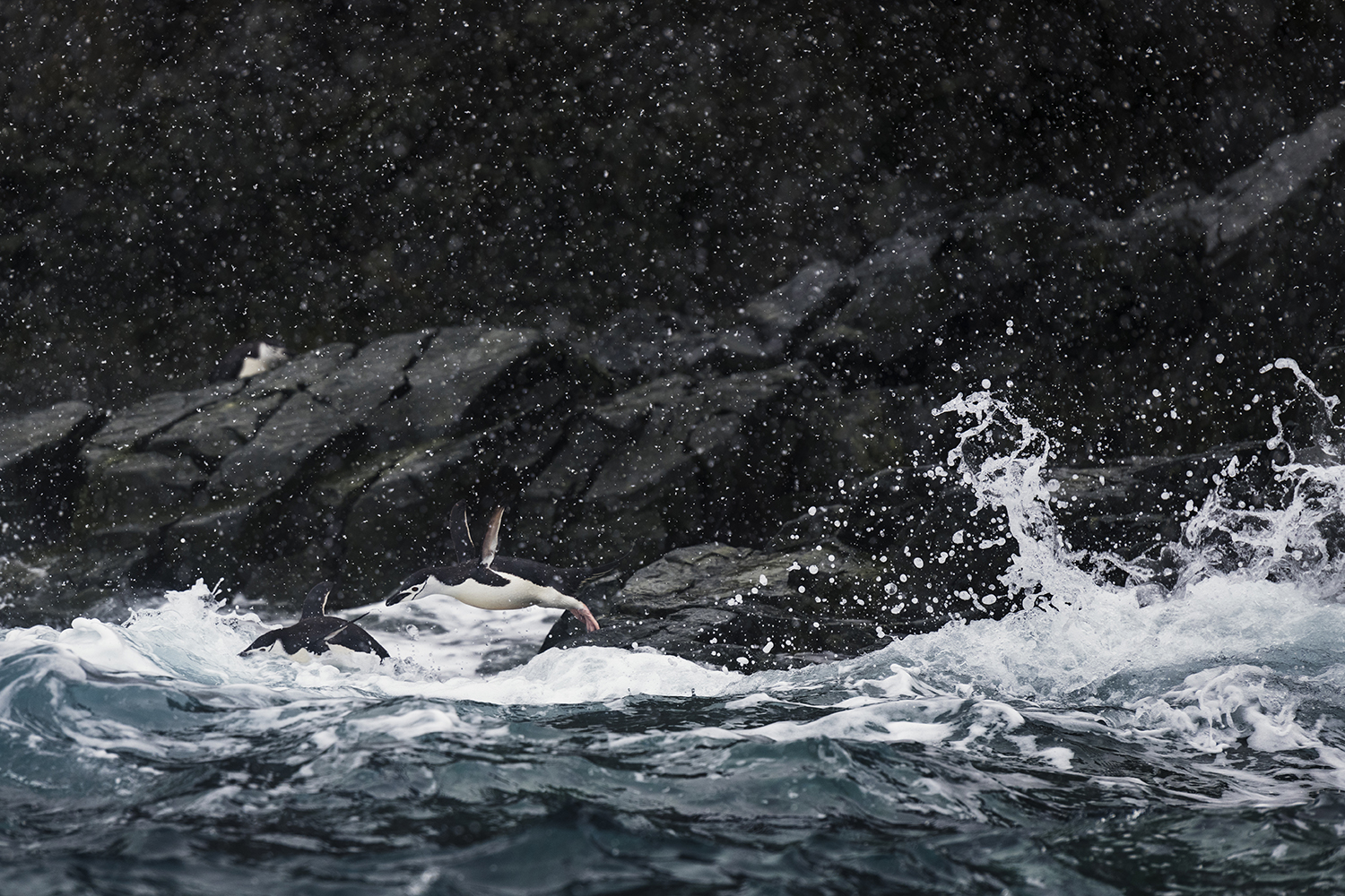Chinstrap penguins diving into the ocean at Brabant Island in Antarctica.