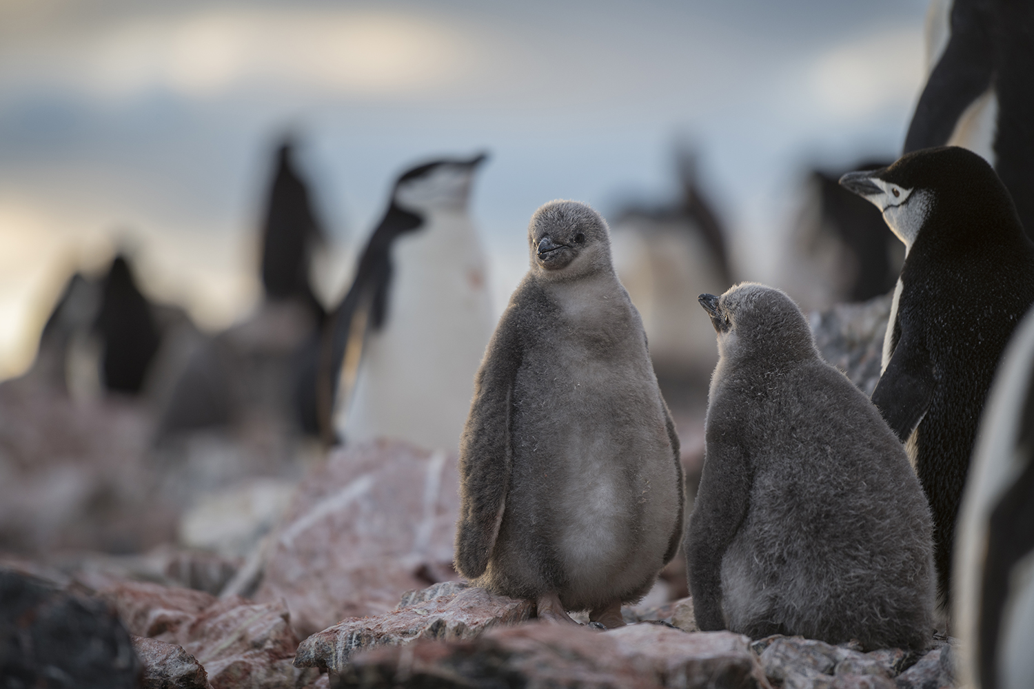 By mid-January, most Chinstrap Penguin nests have large, fluffy, gray-colored chicks. If all goes well, a pair of penguins will raise two chicks that fledge (become independent) in February or March.