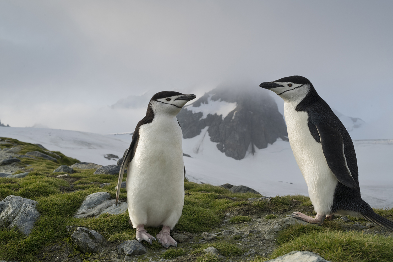 Elephant Island, Antarctica.Most chinstrap penguins live in sub Antartica islands and can live up to 20 years. They mostly live with the same pair during their entire lives and return to the same place where they were born to nest.