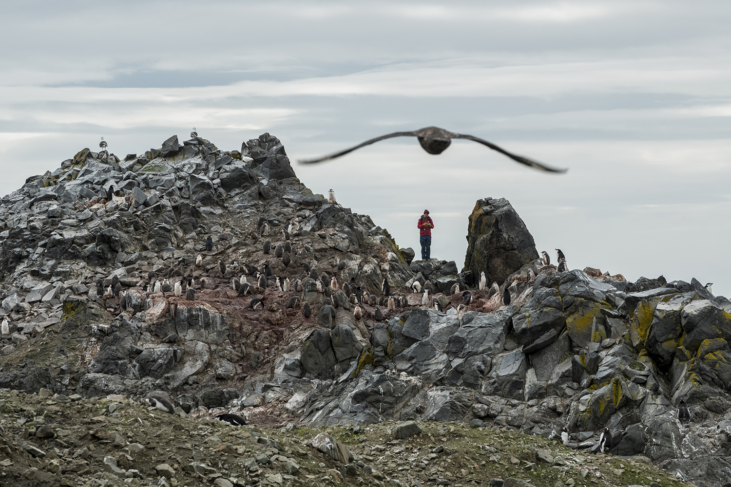 A skua flying over a chinstrap colony on Snow Island, South Shetlands, Antarctica.Alex Borowicz, population ecologist from Stony Brook University counting penguin populations in Antarctica.