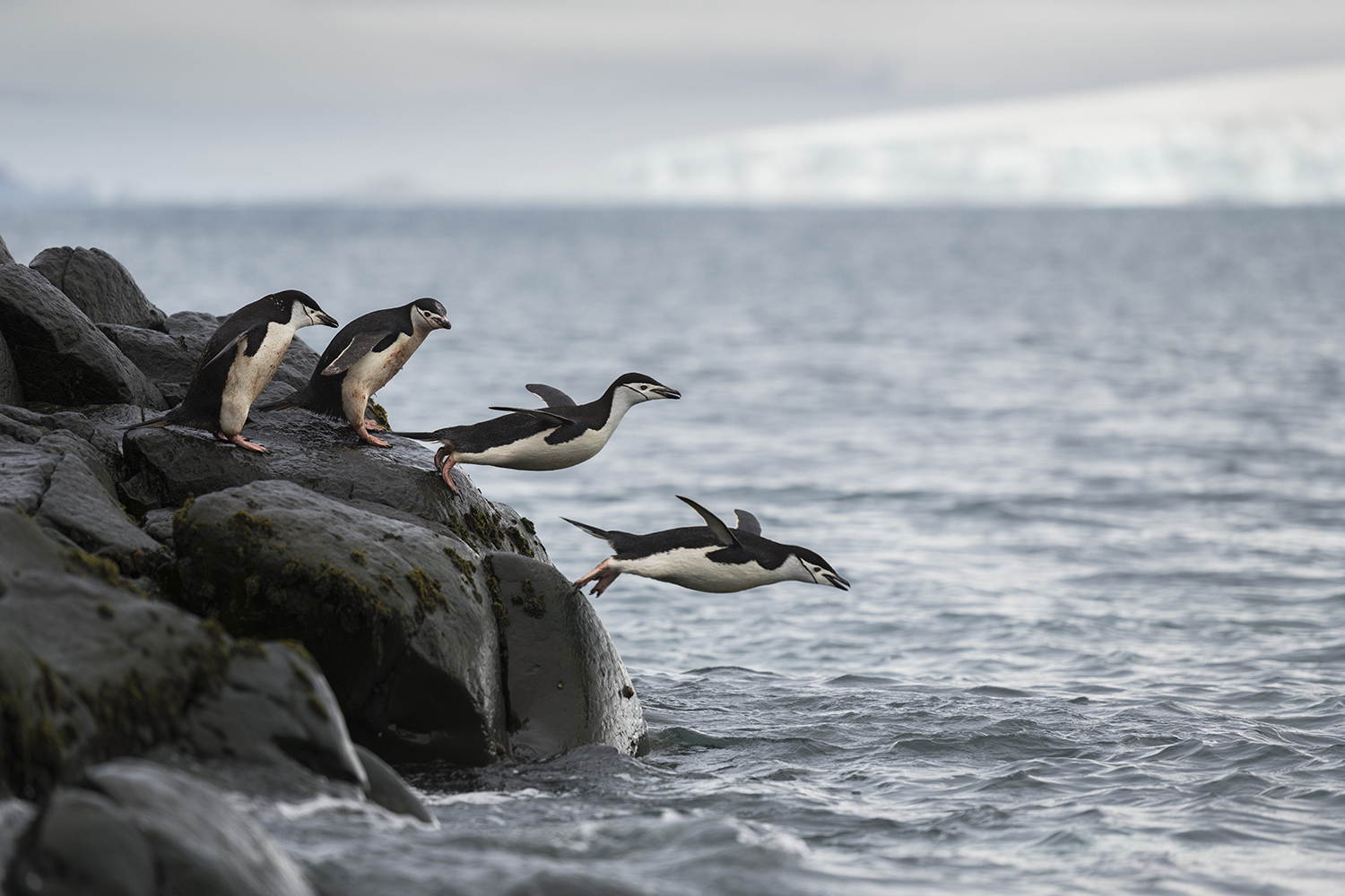 Chinstrap penguins diving into the ocean at Snow Island, South Shetlands, Antarctica.